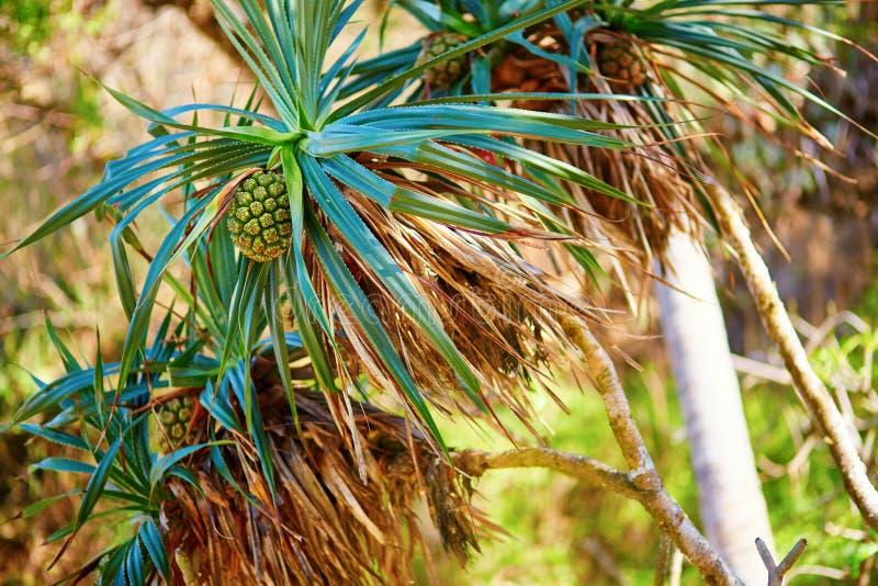 Ананас растя в тропическом лесе стоковые фотографии rf