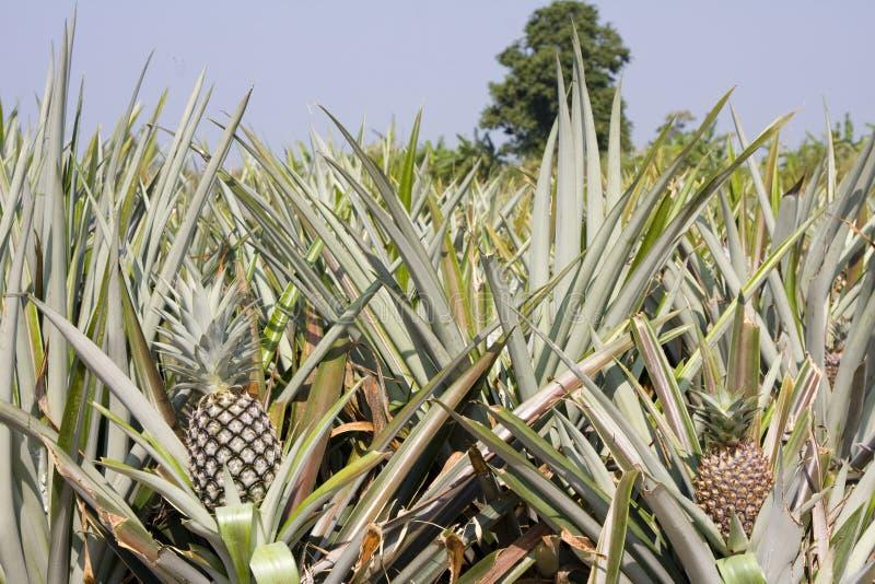 ананас фермы стоковые фото