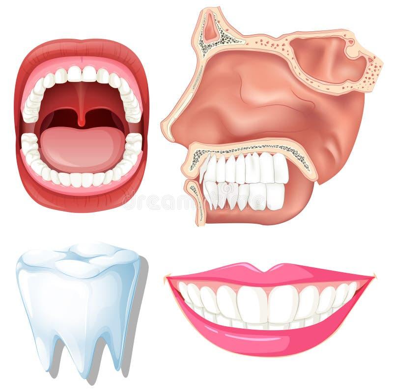 Анатомирование людских зубов бесплатная иллюстрация