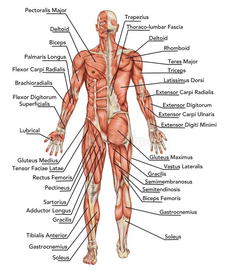 Анатомирование мыжской мышечной системы иллюстрация вектора