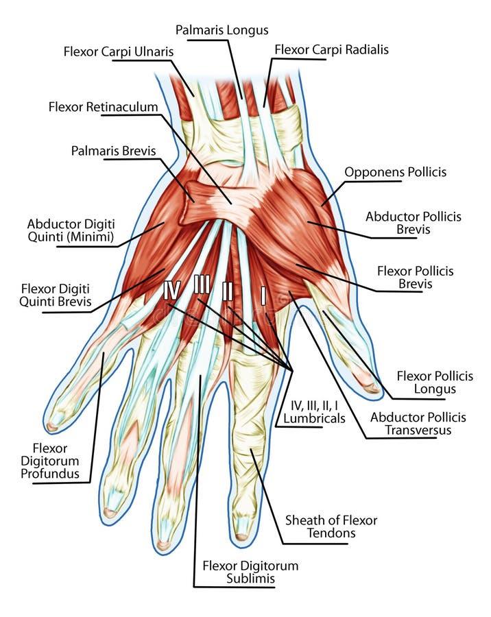 Анатомирование мышечной системы - руки, мышцы ладони - t иллюстрация вектора