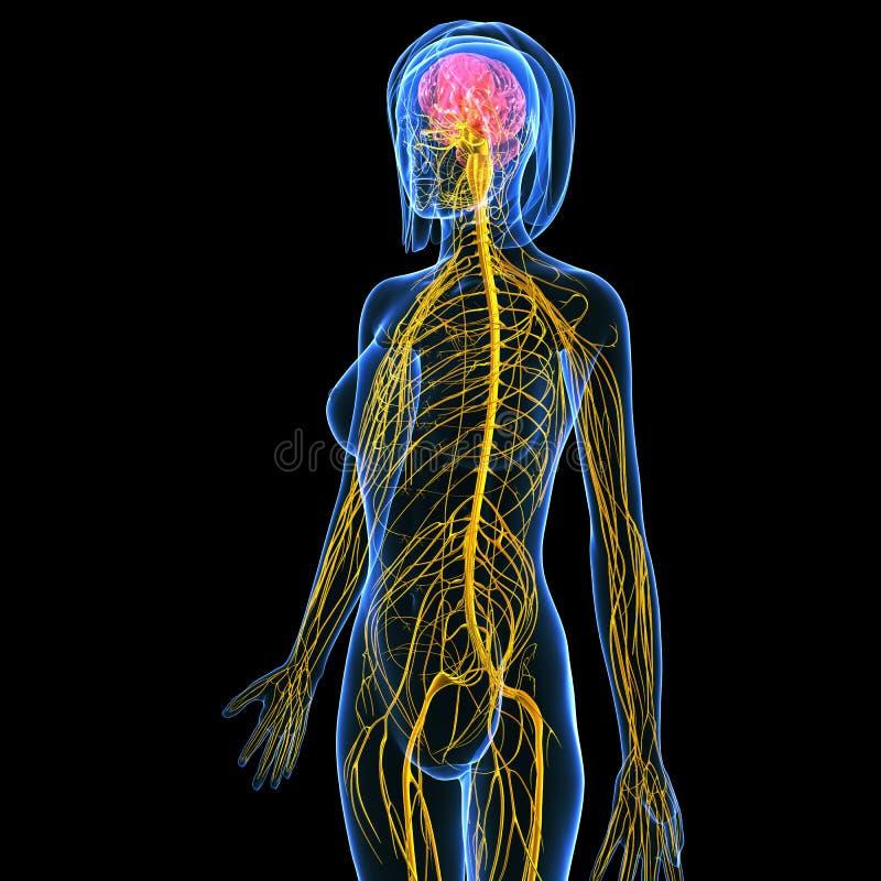 анатомирование системы женского тела слабонервной с мозгом иллюстрация вектора