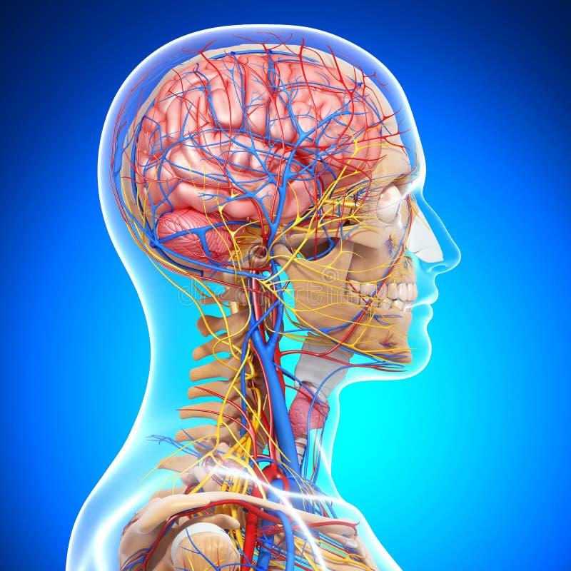 Анатомирование циркуляторной системы мозга иллюстрация вектора