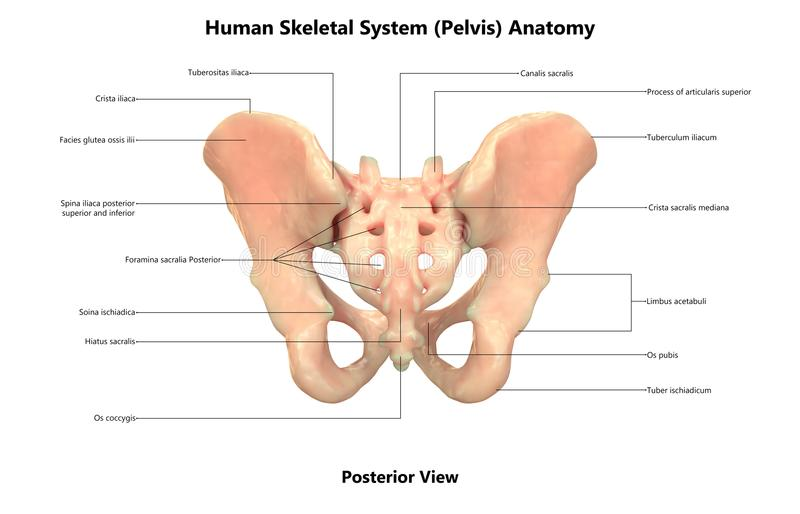 Анатомия взгляда таза каркасной системы человеческого тела задняя иллюстрация штока