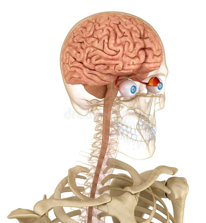 анатомия глаза и скелет, изолированные на белом иллюстрация вектора