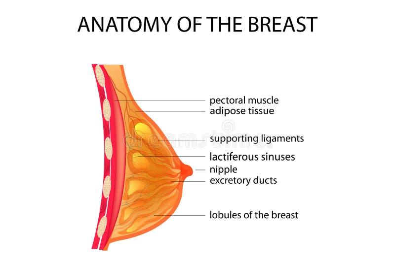 Анатомия груди иллюстрация вектора