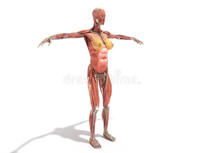 Анатомия женского тела для книг 3d представляет на белизне бесплатная иллюстрация