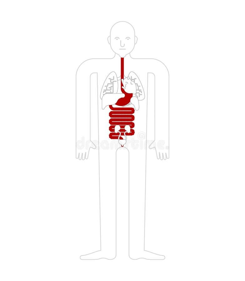 Анатомия живота и esophagus и прямой кишки человеческая желудочно-кишечно иллюстрация штока