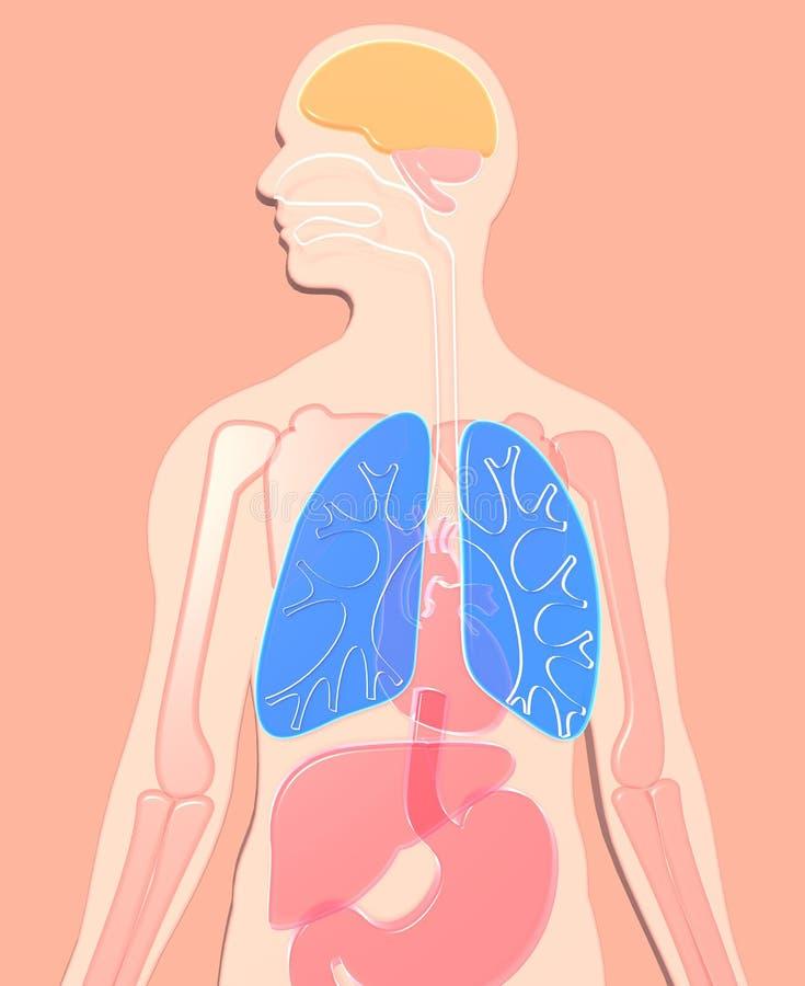анатомия иллюстрации 3D человеческая сделанная semitransparent пластиковой, пищеварительной системы, esophagus, дуоденума, highli иллюстрация вектора