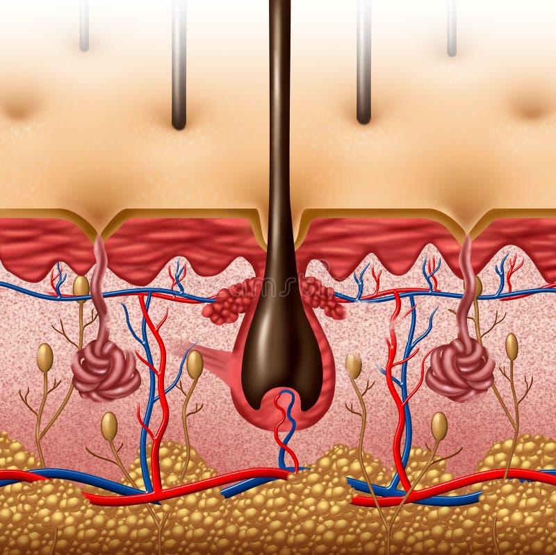 Анатомия кожи иллюстрация штока