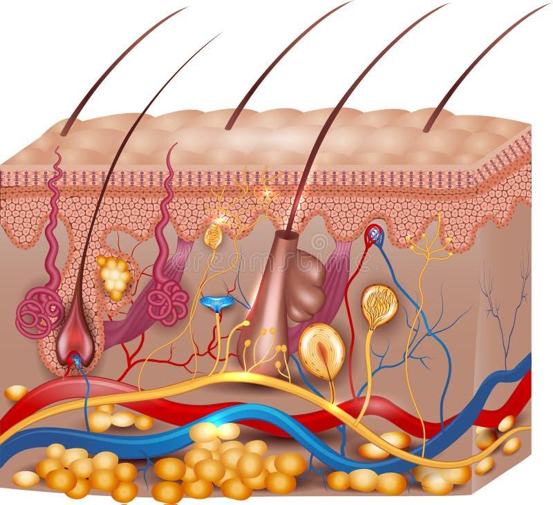 Анатомия кожи иллюстрация вектора