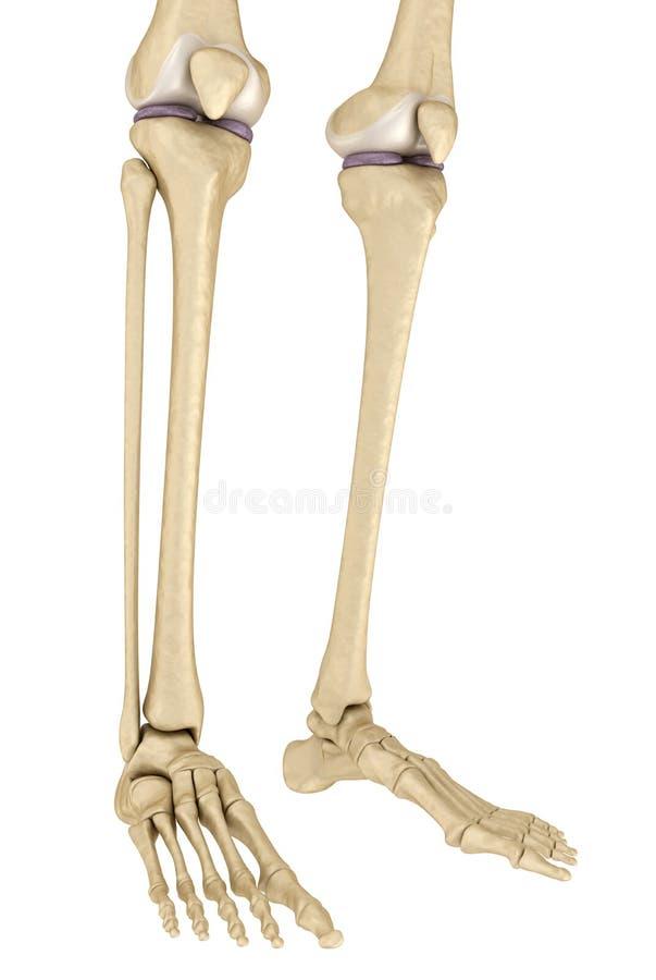 Анатомия колена Изолировано на белизне иллюстрация штока
