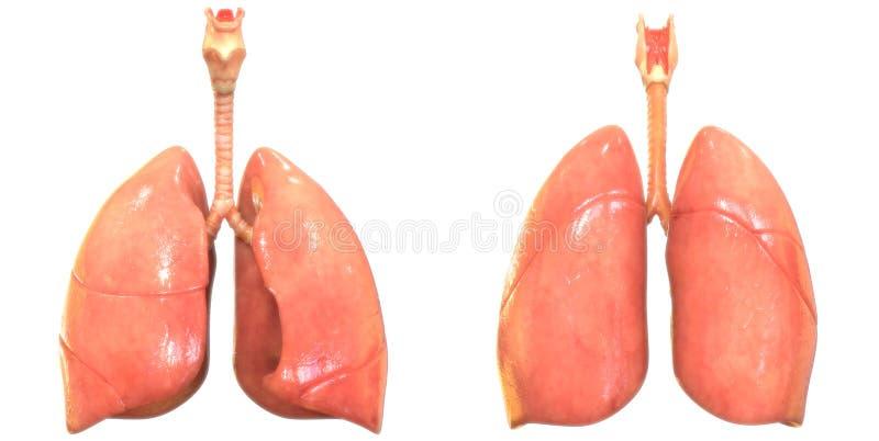 Анатомия легких дыхательной системы органов человеческого тела иллюстрация штока