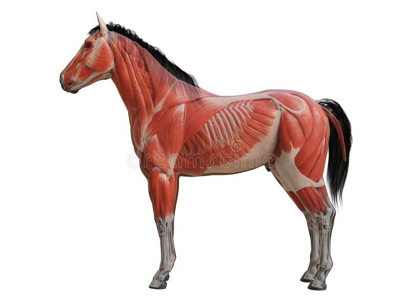 анатомия лошади - система мышцы бесплатная иллюстрация