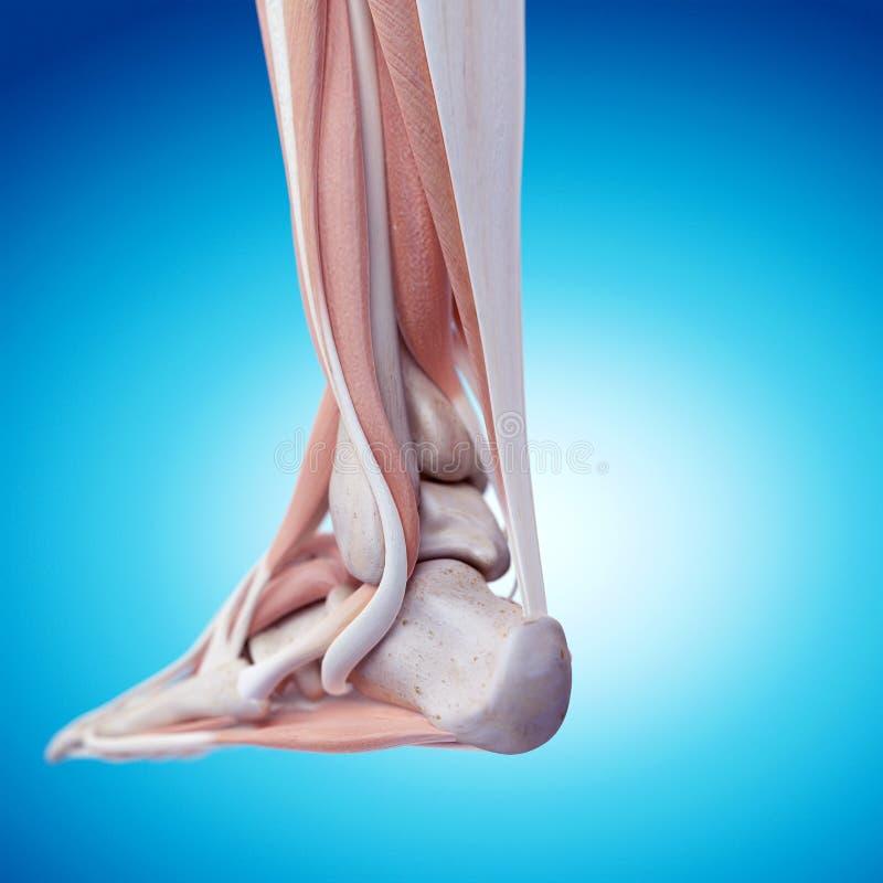 Анатомия ноги бесплатная иллюстрация