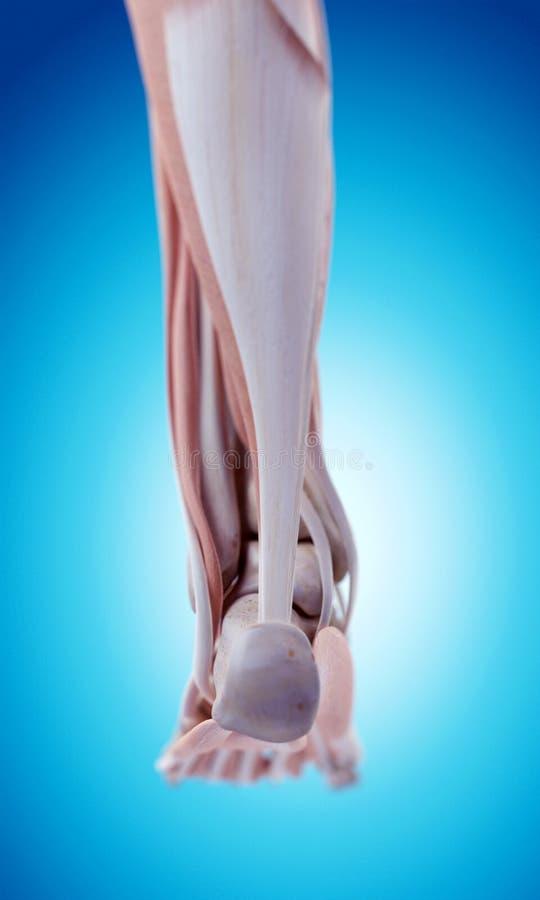 Анатомия ноги иллюстрация вектора