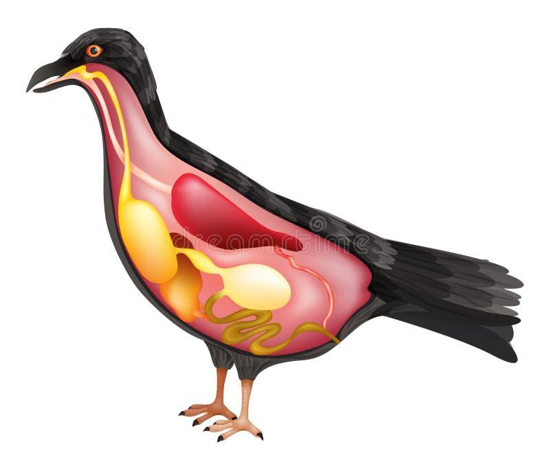 Анатомия птицы иллюстрация вектора