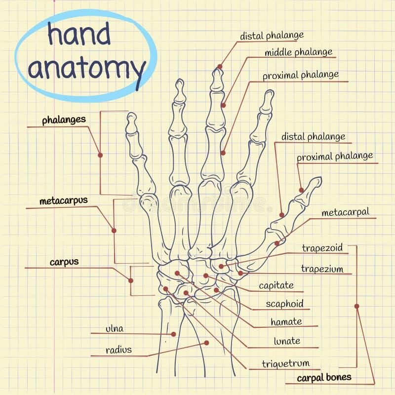 Анатомия руки иллюстрация вектора