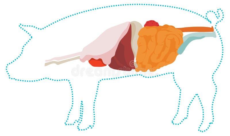 Анатомия свиньи вектора Пищеварительная система бесплатная иллюстрация