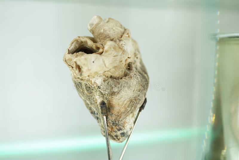 Анатомия человеческого органа сердца часть человеческого тела Концепция медицинской науки стоковые изображения rf