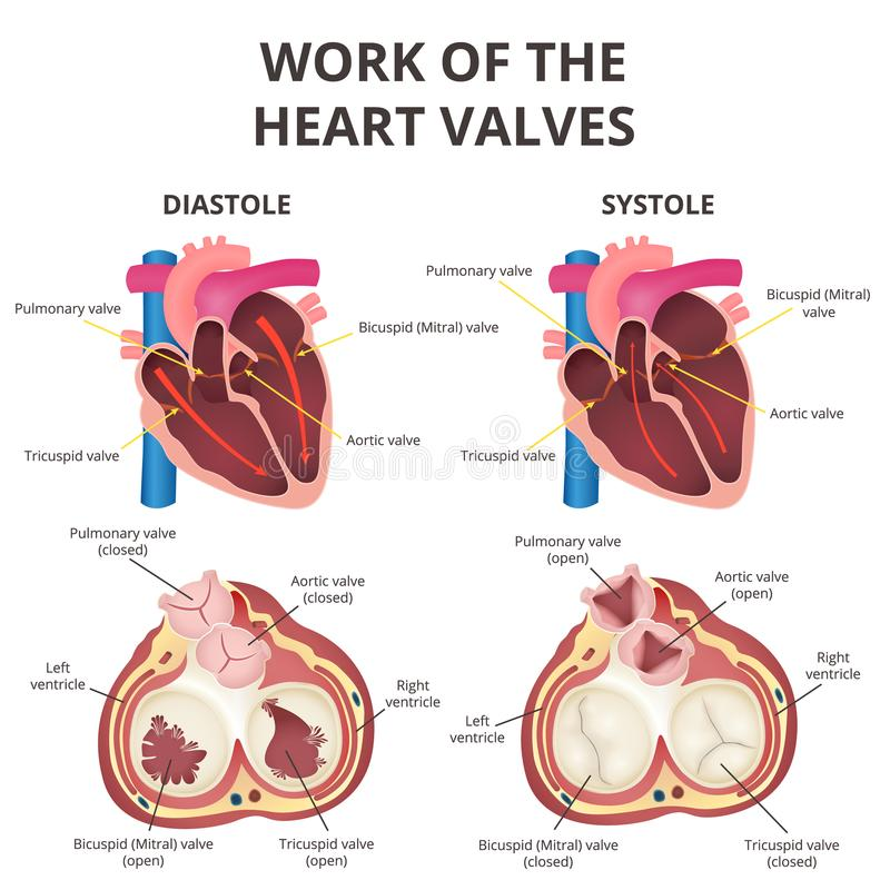 Анатомия человеческого сердца иллюстрация вектора