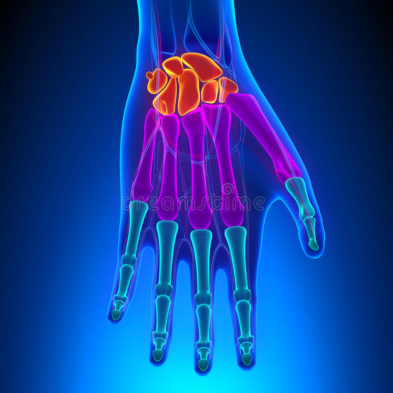 Анатомия человеческих руки и запястья руки с циркуляторной системой иллюстрация штока