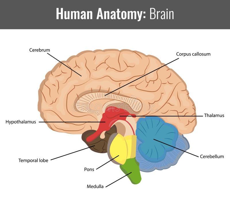 Анатомия человеческого мозга детальная Вектор медицинский бесплатная иллюстрация