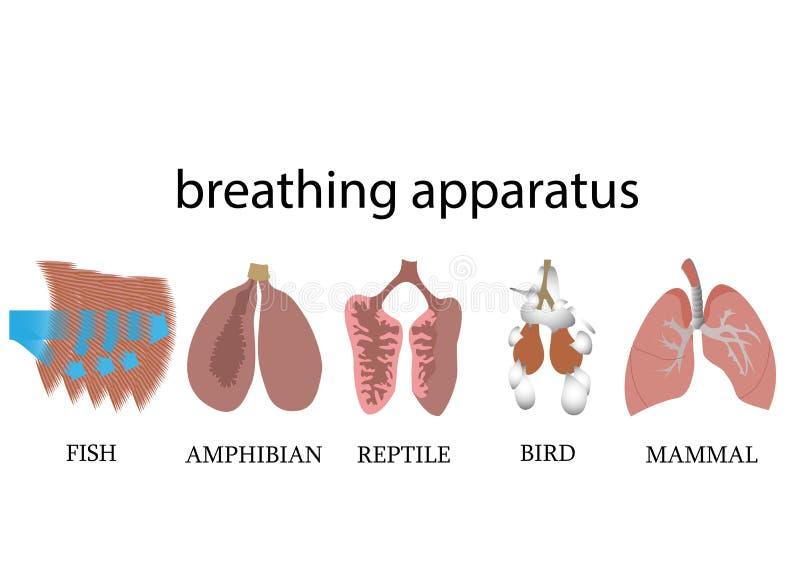 анатомия дыхательного аппарата позвоночных животных бесплатная иллюстрация