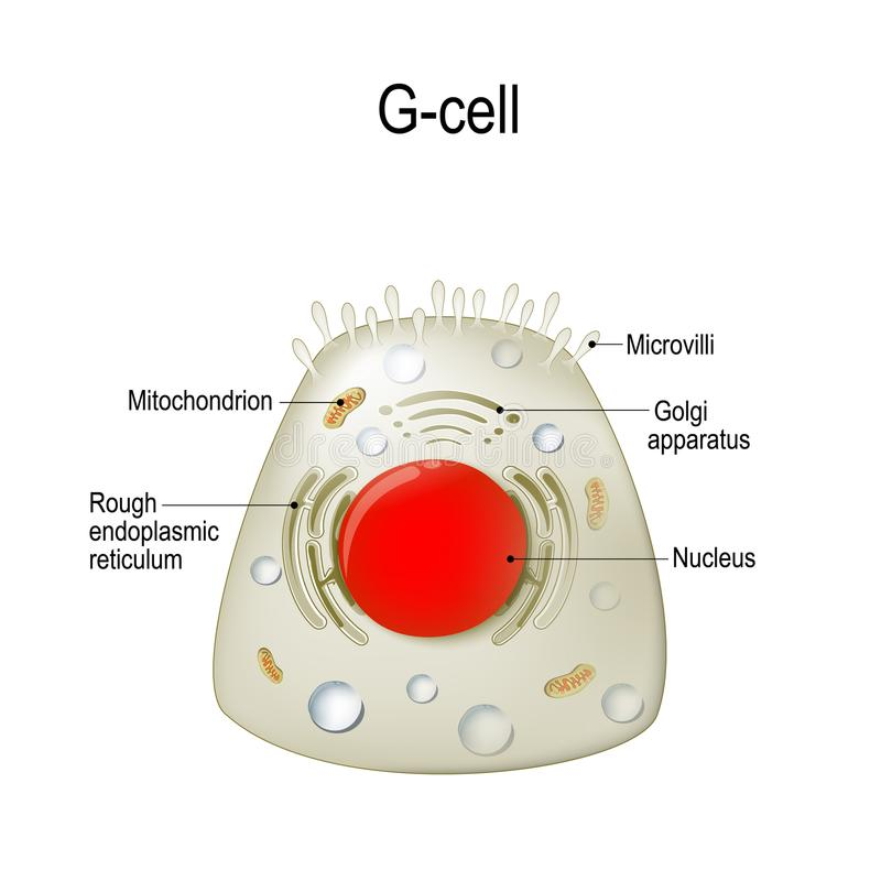 Анатомия G-клетки gastrin иллюстрация штока