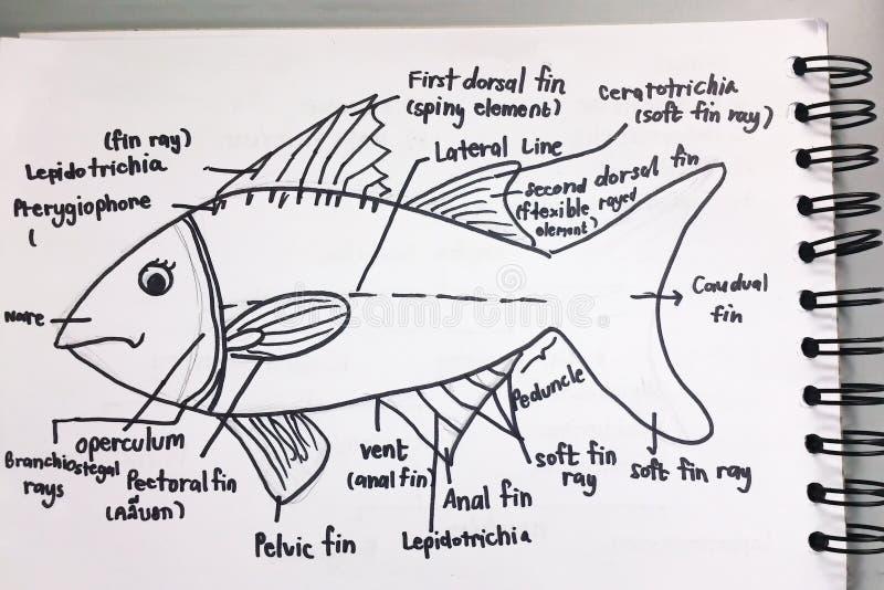 Анатомия sketchup рыб бесплатная иллюстрация
