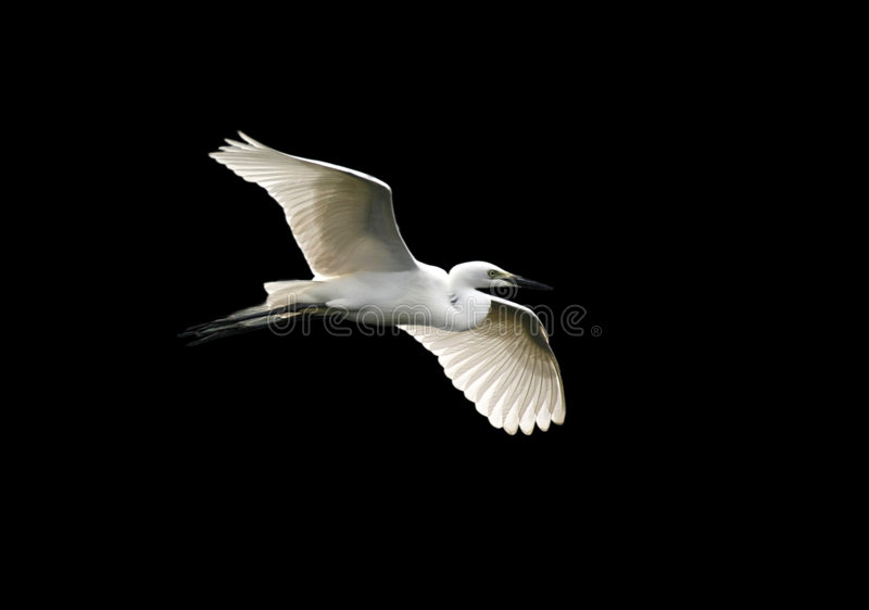 ангеликовый egret стоковое изображение rf