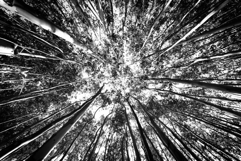 Ангел деревьев эвкалипта широкий с перспективой стоковое фото