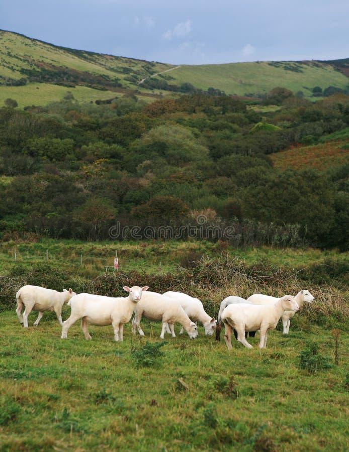 английские овцы стоковое изображение