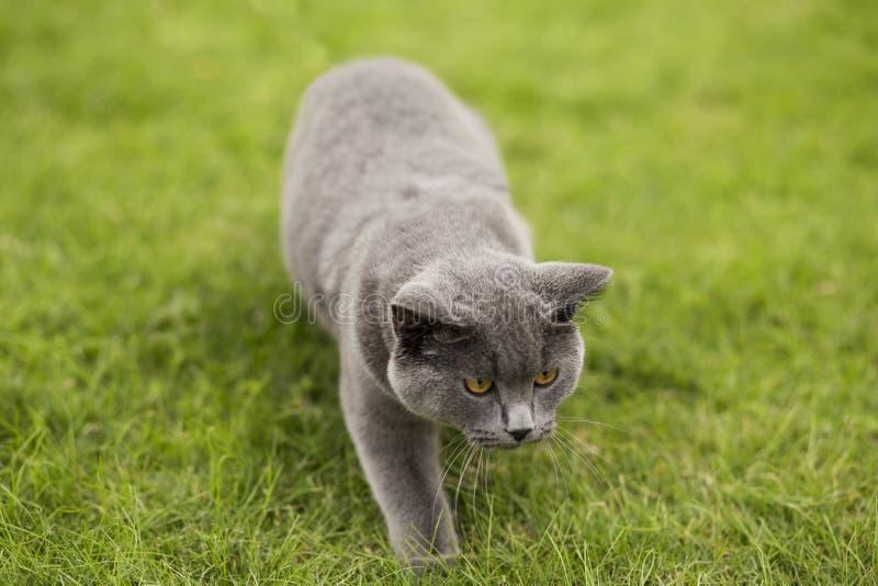 Английский короткий голубой кот стоковое изображение