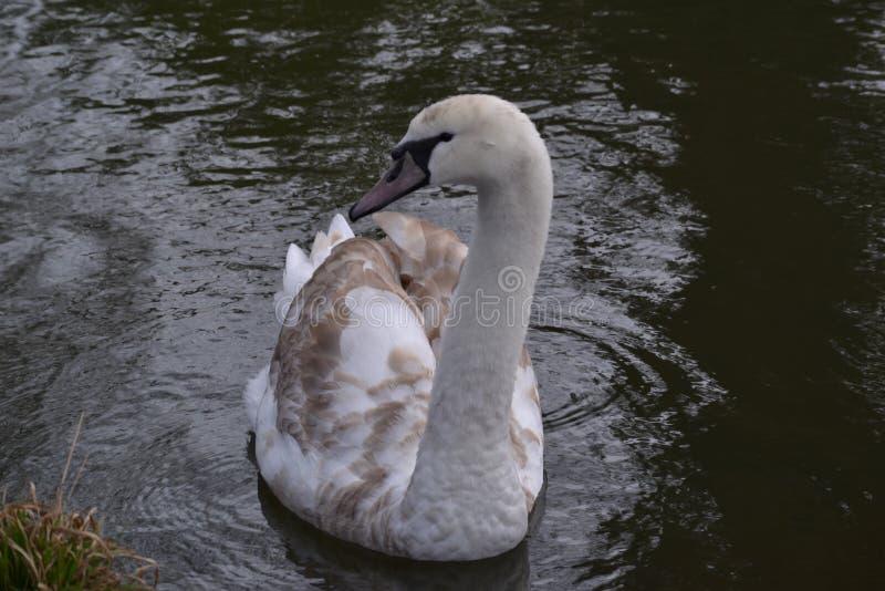 Английский лебедь стоковое фото