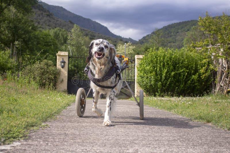 Английский сеттер в кресло-коляске стоковая фотография