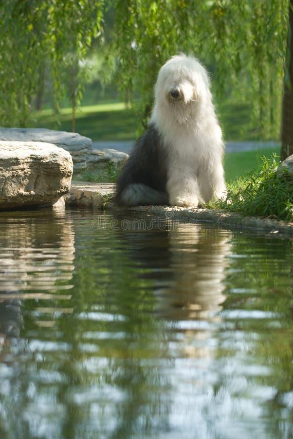 английский старый sheepdog стоковое фото