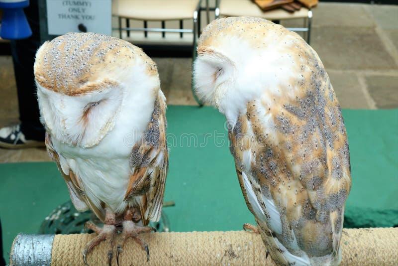 2 английских сыча амбара /Tytonidae на окуне стоковые изображения