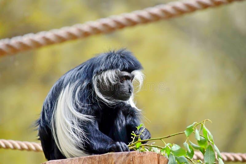 Ангольский черно-белый Colobus Angolensis обезьяны сидя и есть листья стоковая фотография rf