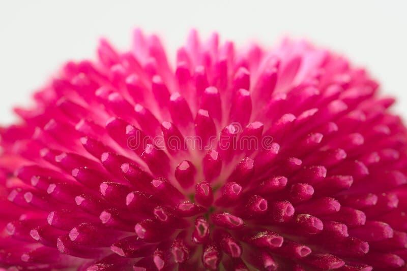 Английская маргаритка стоковое фото rf