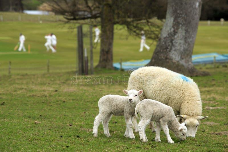 Английская сельская местность - овечки, овца и сверчок стоковое фото
