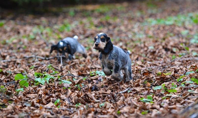 Английские щенята spaniel кокерспаниеля стоковая фотография rf