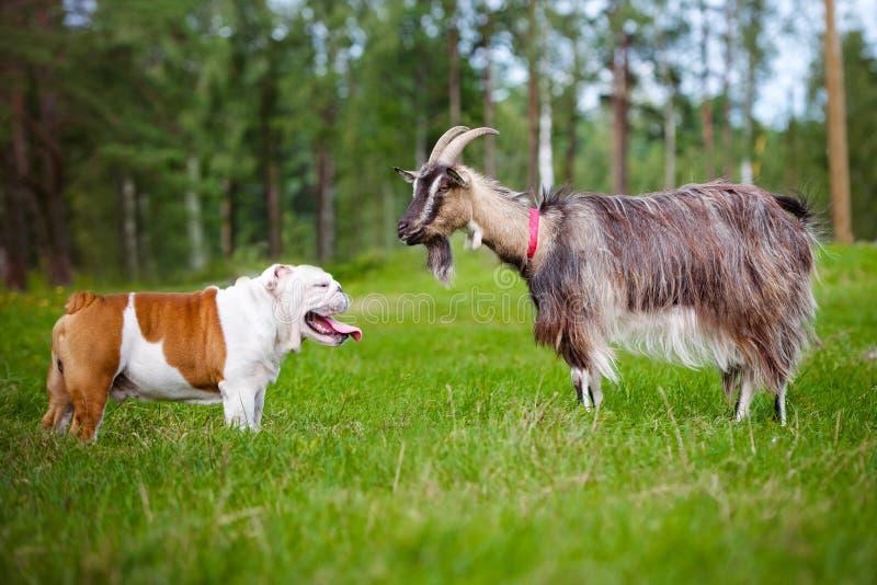 Английский бульдог встречает козу стоковая фотография rf