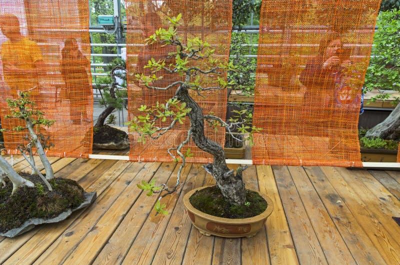 Английский дуб - бонзай в стиле стоковые изображения