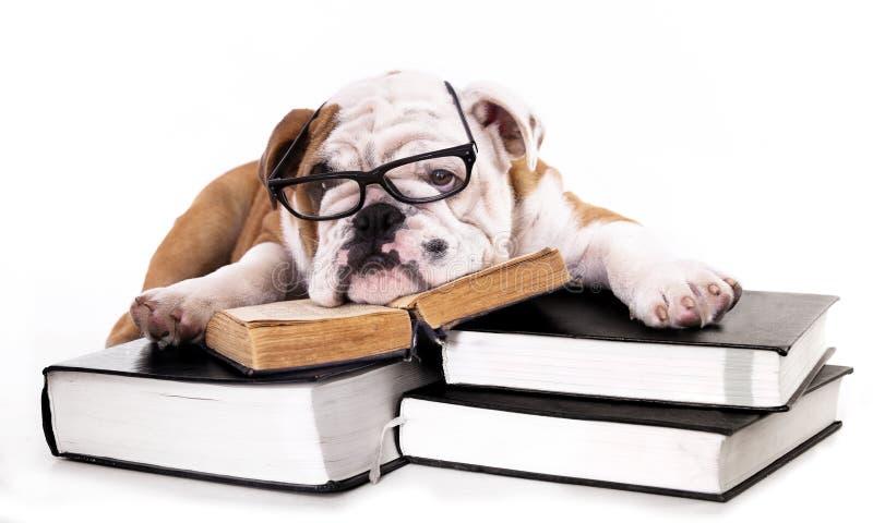 Английский щенок бульдога в стеклах стоковые изображения rf