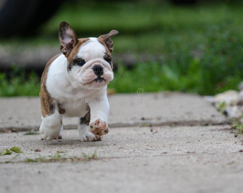 Английский щенок бульдога стоковое изображение rf