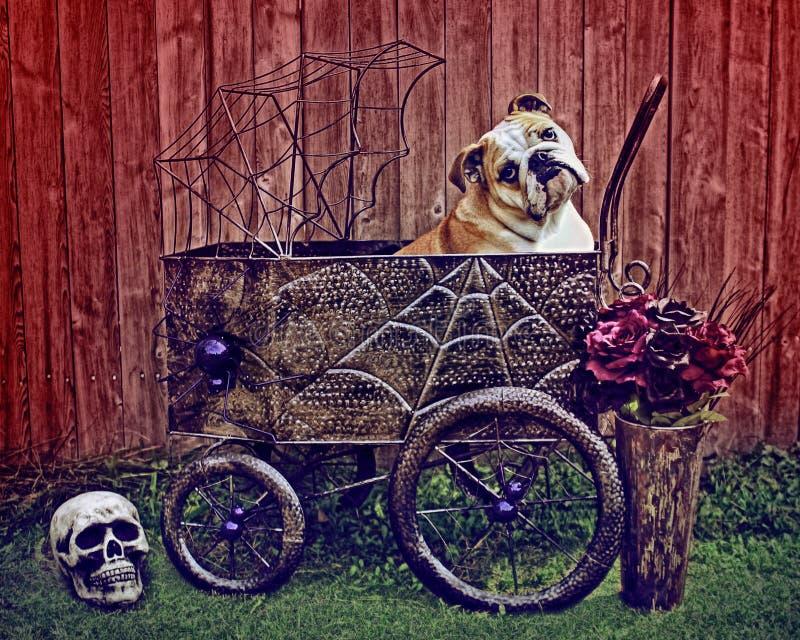 Английское фото хеллоуина бульдога стоковые изображения