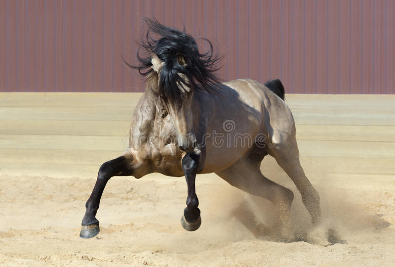 Андалузская лошадь играя на песке стоковое изображение rf