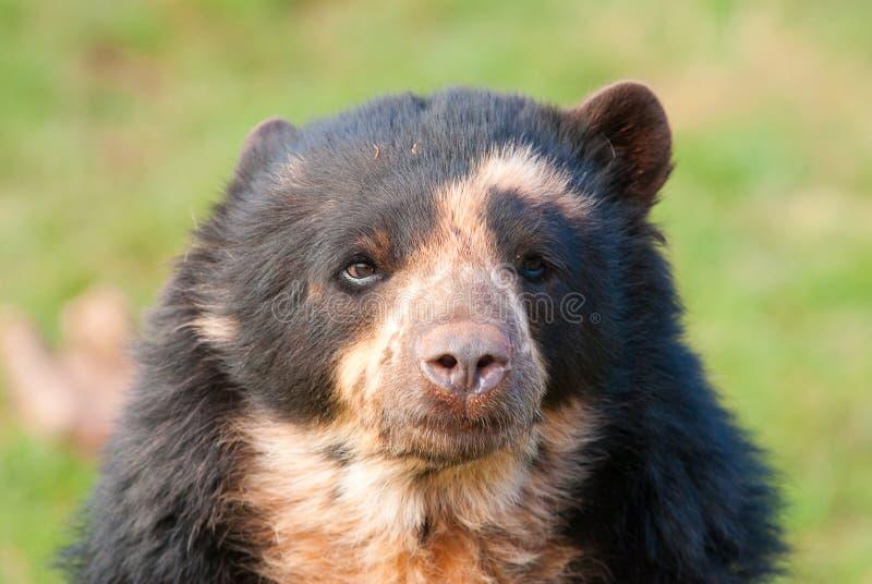 андийские tremarctos ornatus медведя стоковое фото