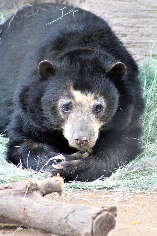 Андийский медведь кладя вниз на зоопарк Феникса, в Фениксе, Аризона, Соединенные Штаты стоковые изображения rf